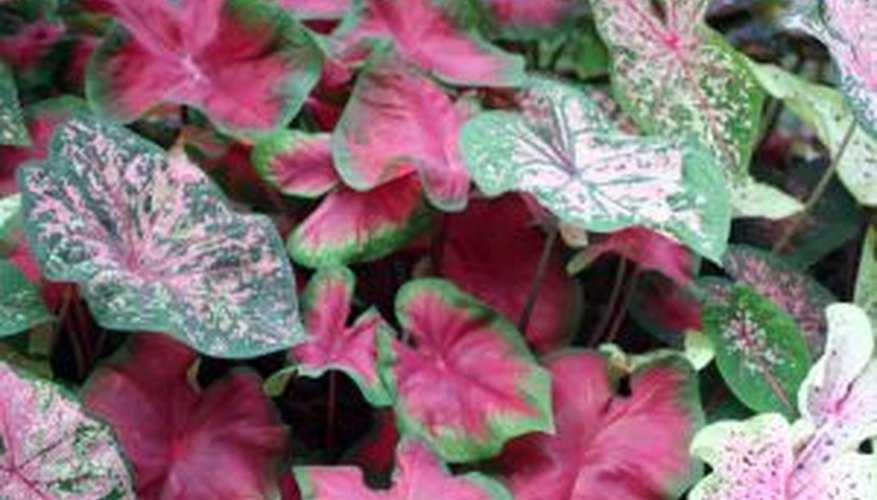 Caladium leaves add color to the garden all summer long