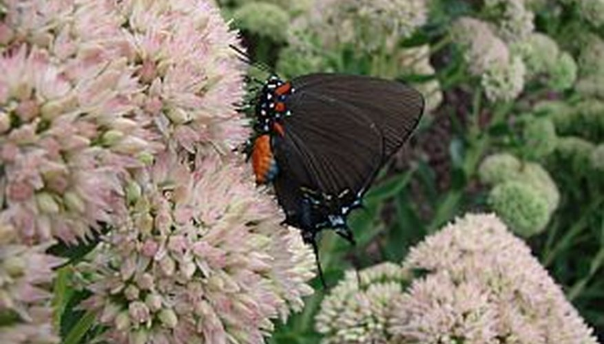 Butterfly on a sedum plant