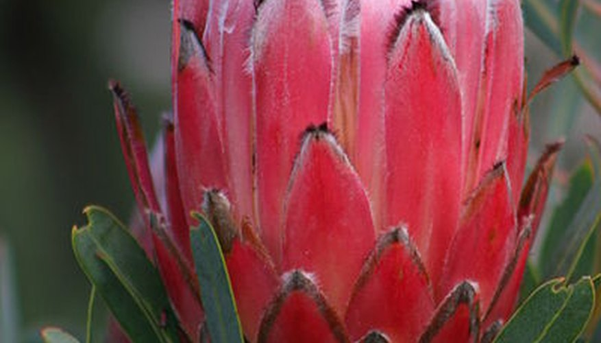 Protea neriifolia, or protea, is one of Hawaii's most unusual flowers