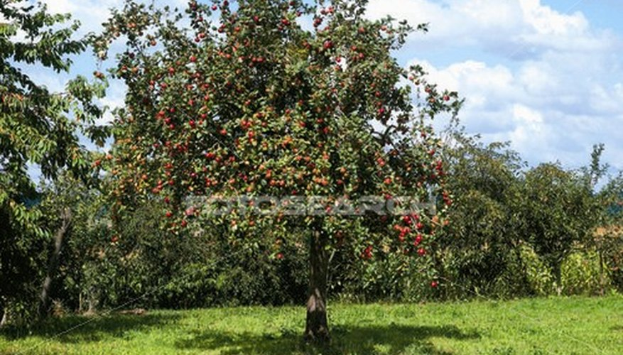 How to Fertilize Apple Trees | Garden Guides