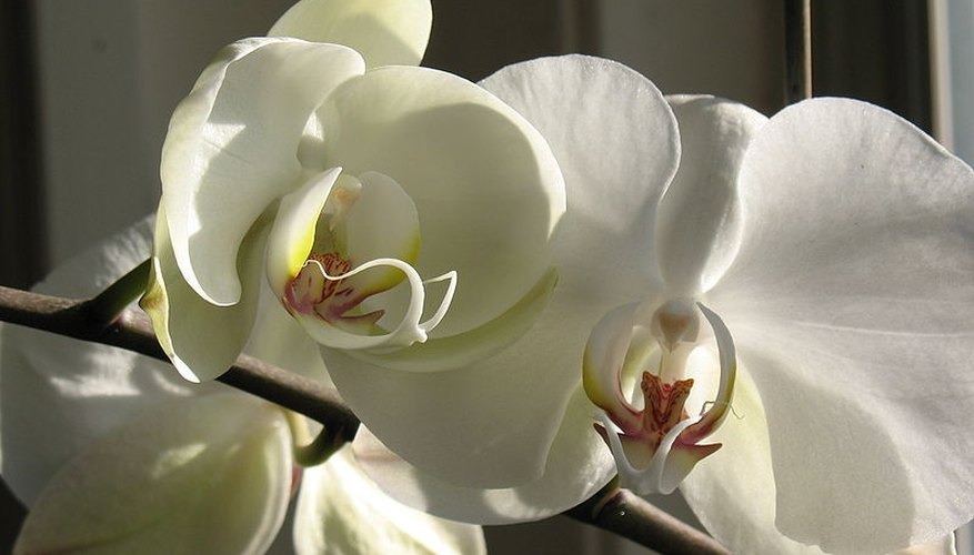 White Phalaenopsis orchid in bloom.