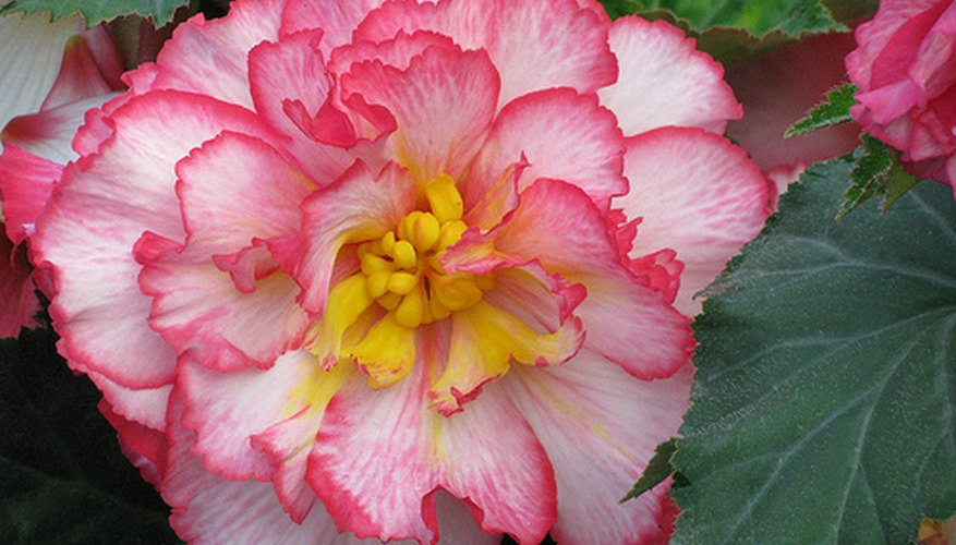 A beautiful begonia bloom