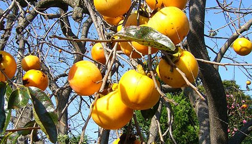 Tanenashi persimmon tree laden with ripe fruit
