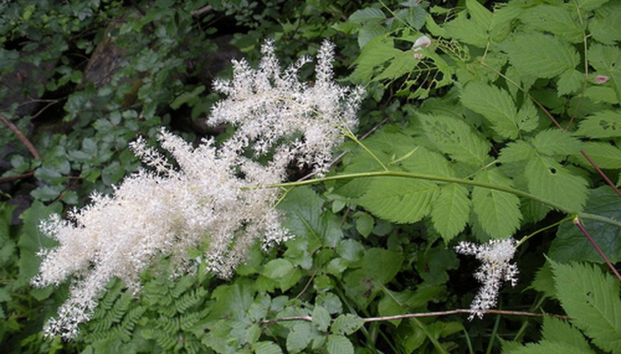 Aruncus flowers appear in summer as large, feathery blossoms.