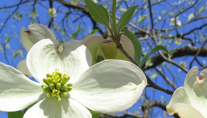 Dogwood tree in bloom.