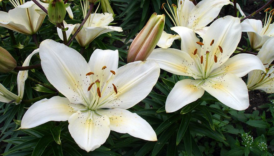 Asiatic lilies in bloom