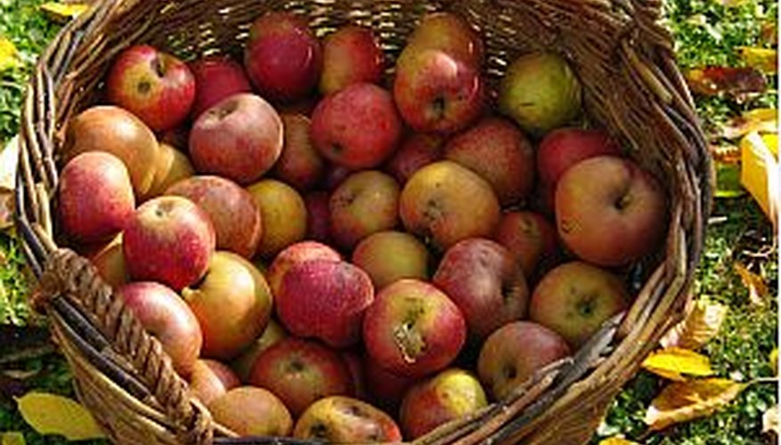 Freshly harvested apples in a bushel basket