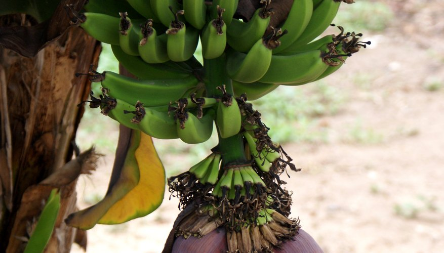 Banana plants yield plenty when properly cared for