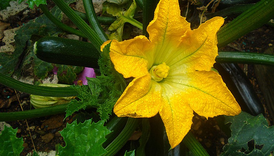 Zucchini is harvested after flowers bloom.