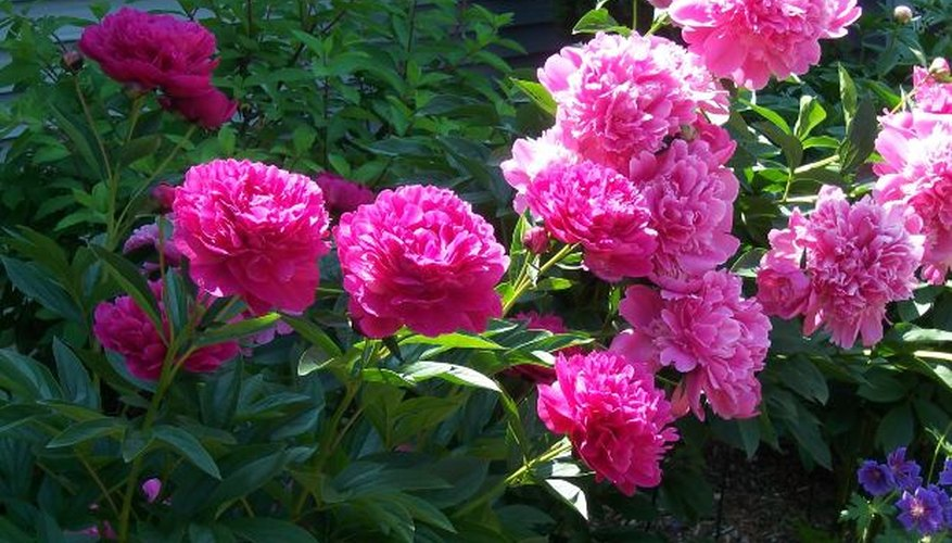 The big flowers of peonies add lush beauty and fragrance to any garden.