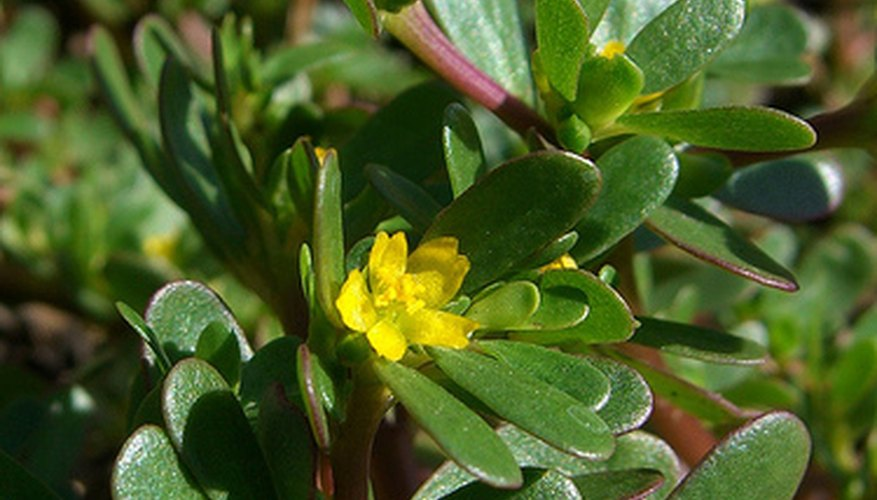 Purslane makes a nutritious indoor plant.