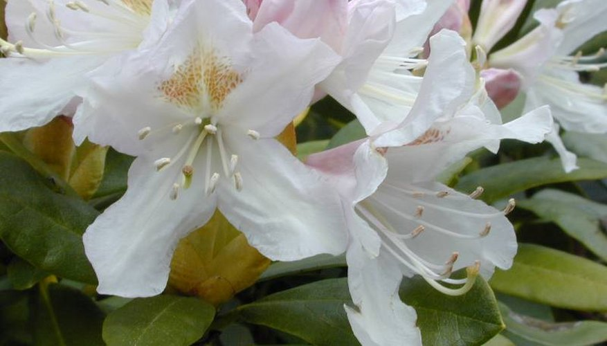 Image Courtesy of: http://www.goodnewsgardening.com/images/shrubs/Azalea%20Evergreen%20Treasure.jpg