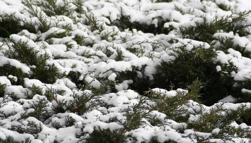 Protect shrubs from winter damage.
