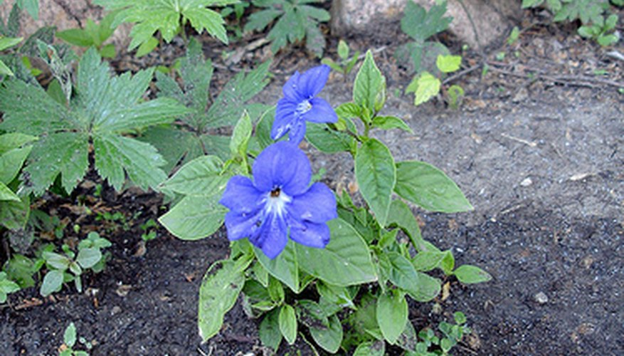 Bush violet thrives in a shady corner of the garden.