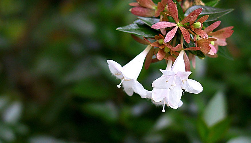 Abelia Gandiflora in bloom.