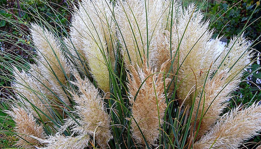 Beautiful Pink Pampas Grass
