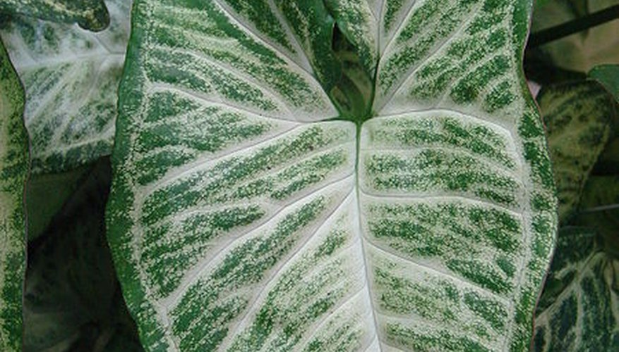 Mature caladium leaf up close.