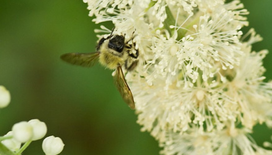 Black cohosh flowers may repel some insects.