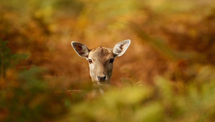 Deer sensibly tend to steer clear of humans but a food block can tempt them over.