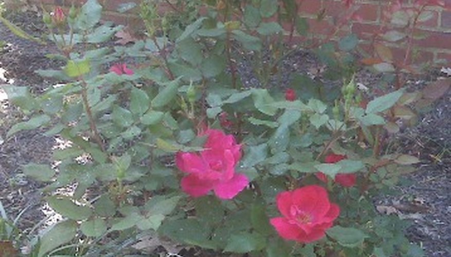 Roses In Garden: How To Care For Knock Out Rose Bushes
