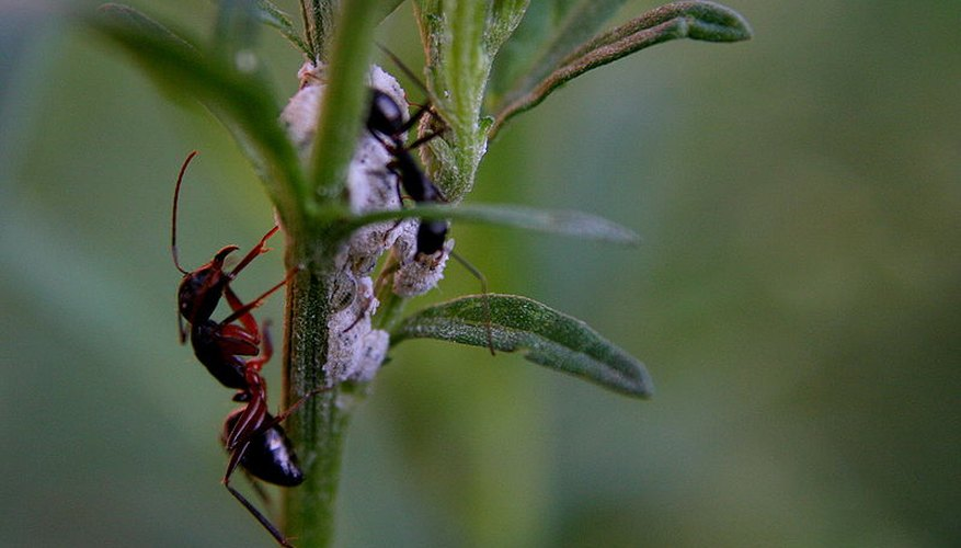how to get rid of ants organically in the garden