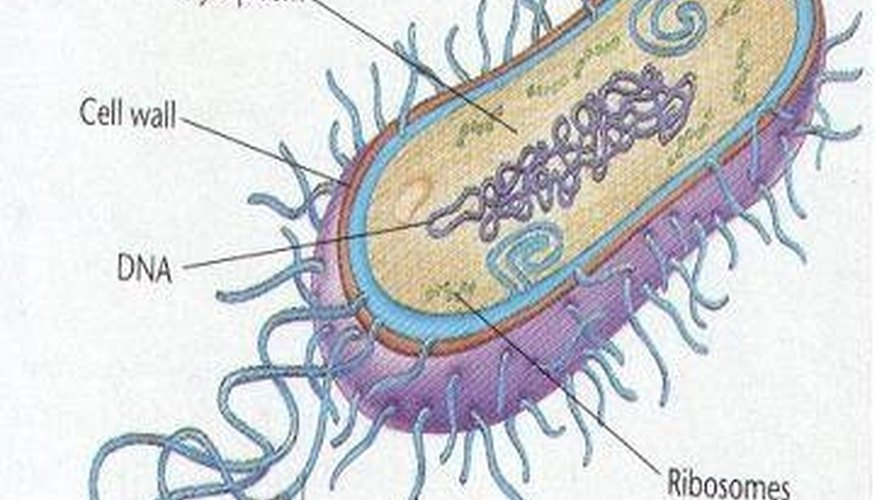 What Is the Life Span of Bacteria?