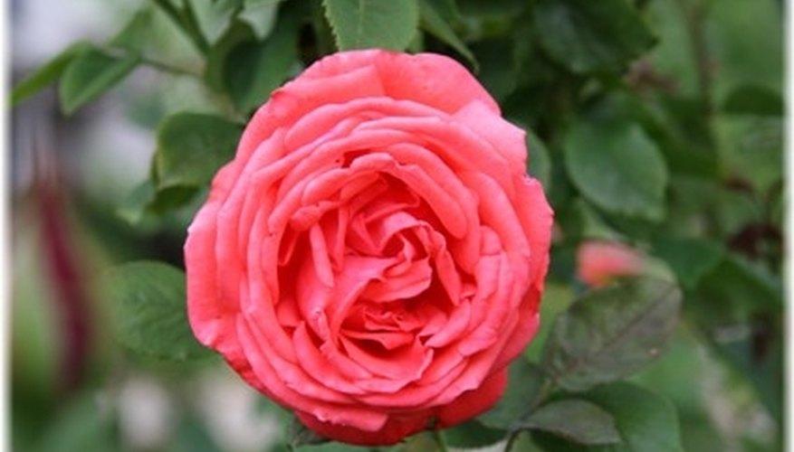 Types of Romantic Flowers