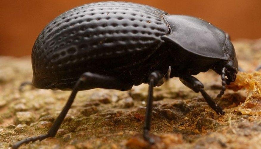 Darkling Beetle (Saleem Hameed/Wikimedia Commons)
