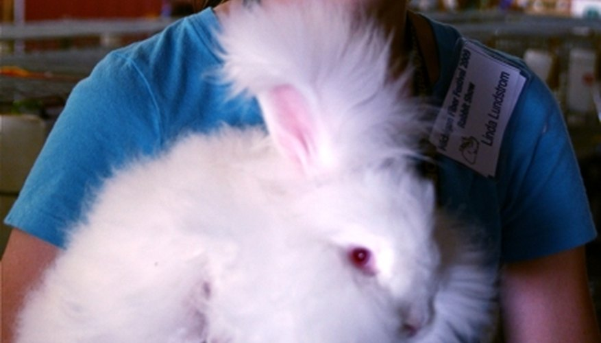A very fluffy angora rabbit and his owner getting ready for a show.