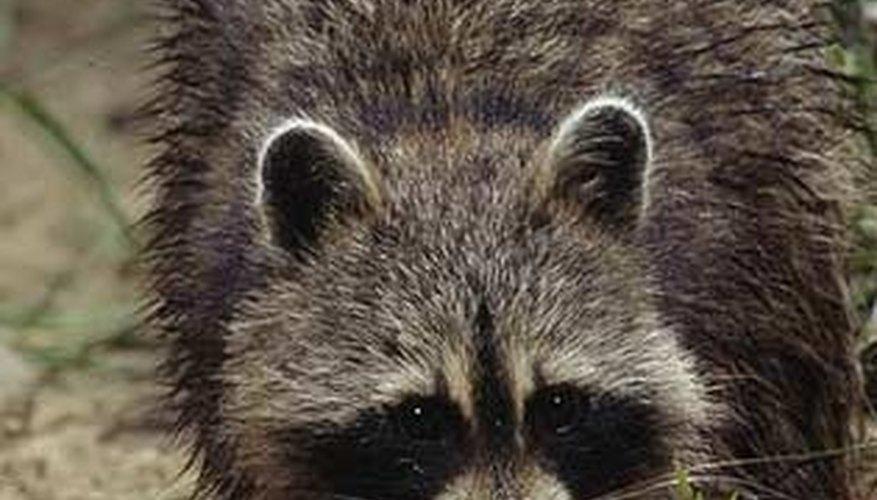 Raccoon Roundworm in Humans