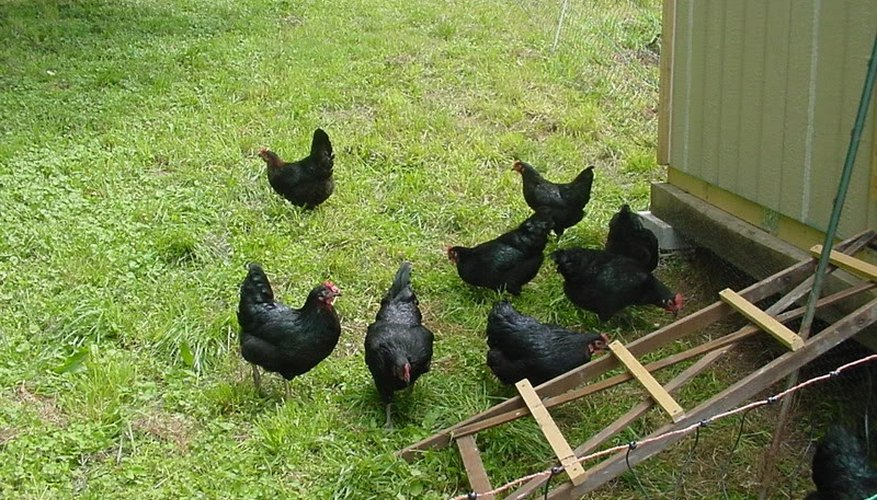 Black Star Chicken Information