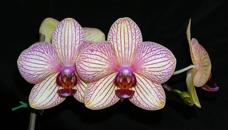 Exotic orchids symbolize femininity.
