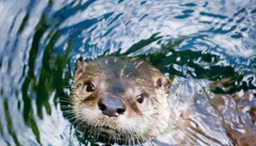 Sea otters use rocks as tools to break open mollusks.