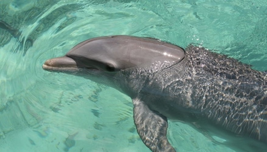 Swimming with dolphins is one of the many activities for couples to enjoy at this resort.