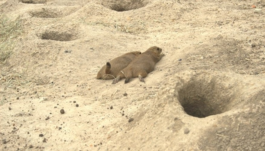 Prairie dogs are one of many animals Lewis and Clark noted on their journey.