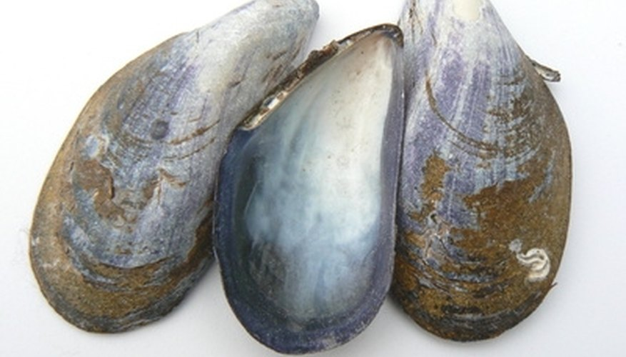 Mussels are mollusks.