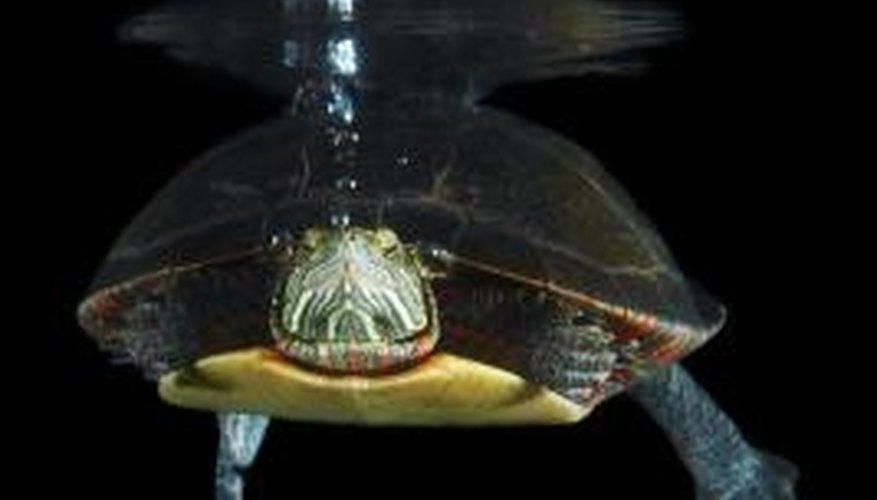 A science project about turtles can include information about a turtle's underwater behavior.