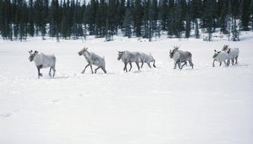 Caribou are one of the few animals that live in the arctic tundra.