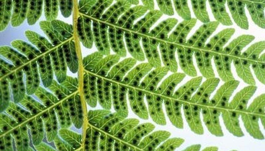 Ferns reproduce through a haploid-diploid life cycle.
