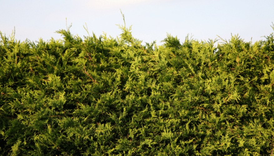 Cedar trees keep their needles all year creating continuous visual and wind protection.