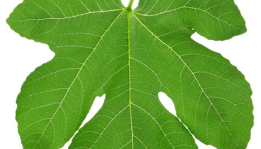 Fig trees lose their leaves each year.