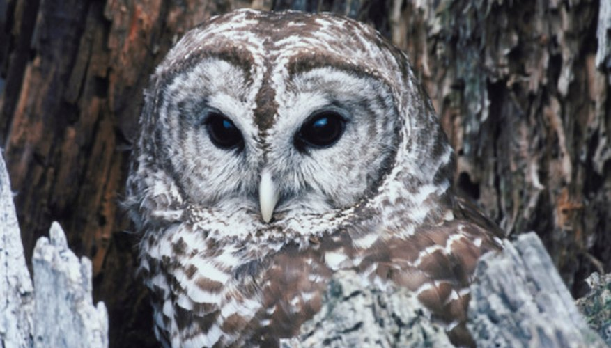There are several things you can do to attract a barred owl.