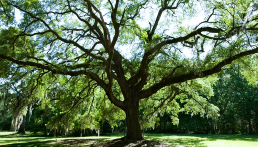 Oak trees can develop a deep root system.