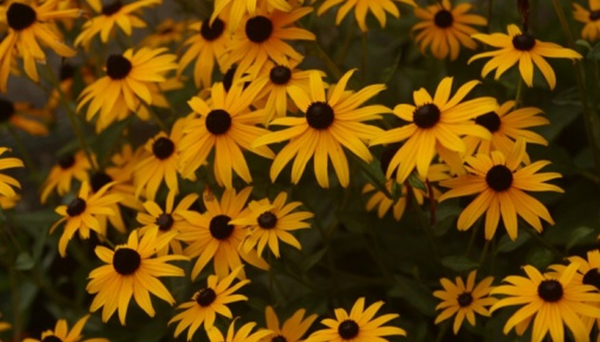 Black-eyed Susans provide dramatic color in summer gardens.