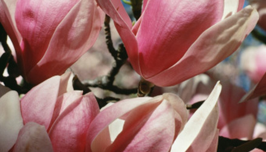 Magnolia trees have light-colored blossoms.