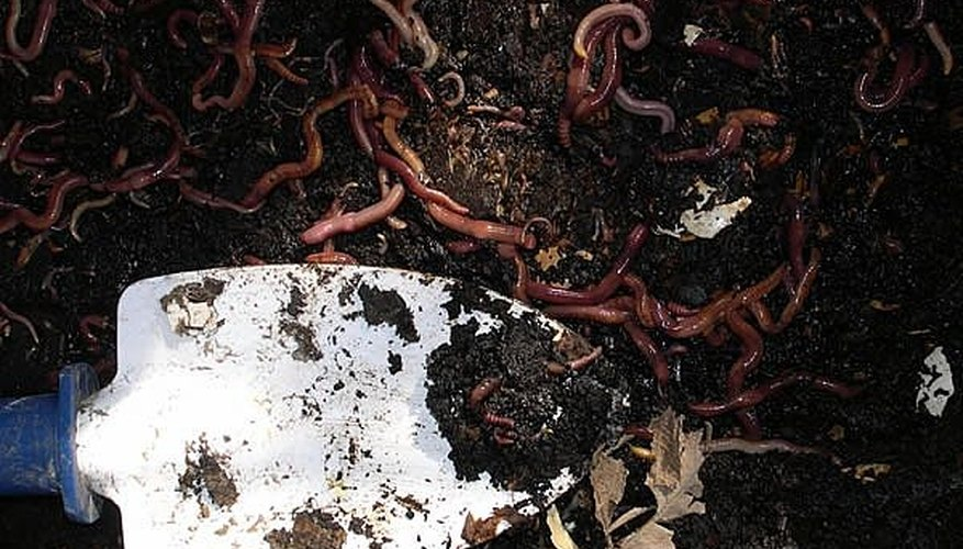 Growing worms