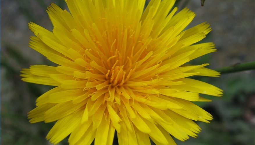 Machetes are best for thick, dense weeds but they also work on dandelions.