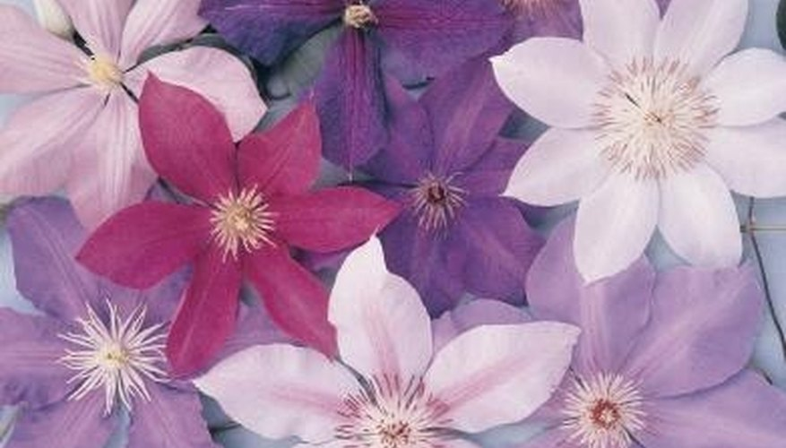 Clematis flowers produce seeds for future planting.