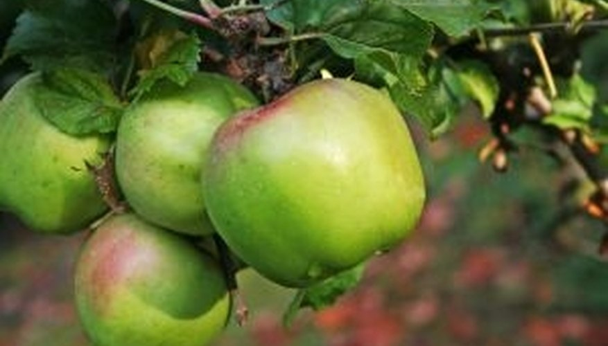 Dwarf apple trees grow standard sized apples