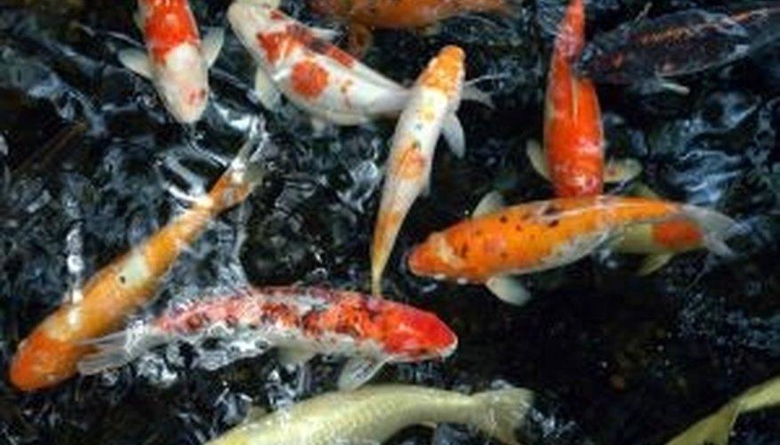 Buy koi fish for your backyard pond.